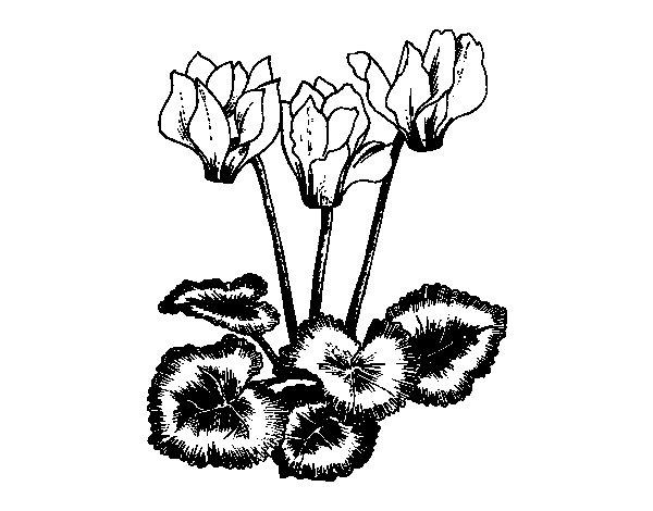 Disegno di ciclamino da colorare for Glicine disegno