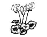 Disegno di Ciclamino da colorare