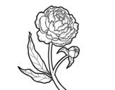Disegno di Peonia da colorare