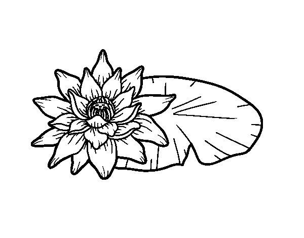 Disegno Fiori Da Colorare Con Google Disegno Di Un Fiore: Disegno Di Una Fiore Di Loto Da Colorare