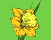 Fiore de niarciso
