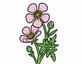 Fiore ranuncolo